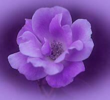 Rose in Purple by Sandy Keeton