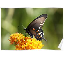 Black Tiger Swallowtail Poster