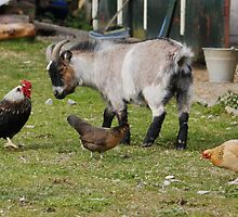 Mixed Farmyard by AnnDixon