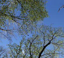 Spring Canopy by Lynn Gedeon