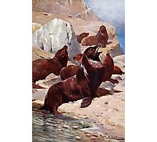 California Sea Lions Photographic Print