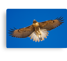 0627092 Red Tailed Hawk Canvas Print