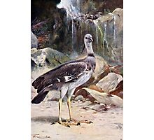 Crested Screamer Bird Drawing Photographic Print
