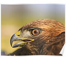 Red Tail Hawk - Family:  Accipitriformes Poster