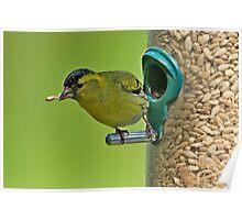 Siskin catching seed in beak Poster