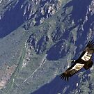 Great Andean Condor by aguakina