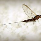 °°° mayFLY °°° by suncent