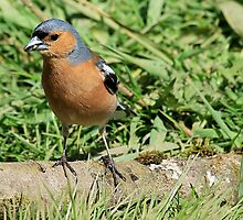 Common Chaffinch (male)  perched on log by Robert Flynn