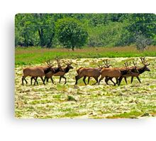 Eight Bull Elk All in Velvet  Canvas Print
