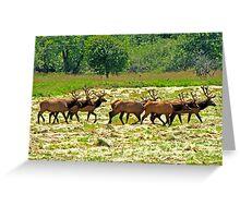 Eight Bull Elk All in Velvet  Greeting Card