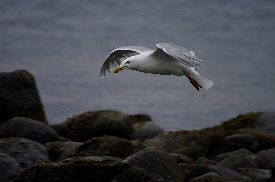 Gull by Al Williscroft
