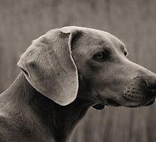 The Weimaraner Dog  by Britta Döll