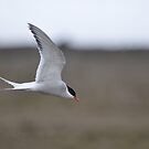 Arctic Tern by Angela1