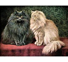 Persian Cats - Blue and Cream Photographic Print