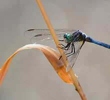 Dragon Fly Photo Art Painting by ImageOregon