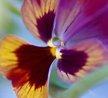 Pansy in a morning breeze by CanDuCreations