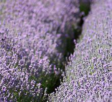 Lavender Fields by Lynn Ede