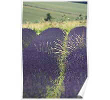 Lavender with grass Poster