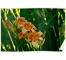Shaded Daylilies Poster