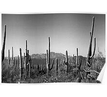 Cactus BW Poster
