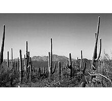 Cactus BW Photographic Print