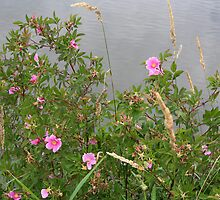 Wild Rose by the Water by tanmari