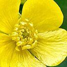 Buttercup by Sheri Nye