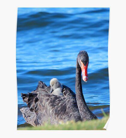 Black Swan - Western Australia  Poster