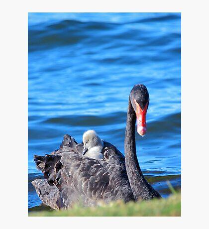 Black Swan - Western Australia  Photographic Print
