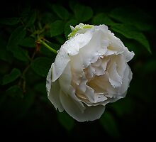"""""""A Rose is a Rose..."""" by Charles Plant"""