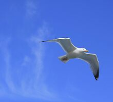 Flight of the Seagull by pcimages