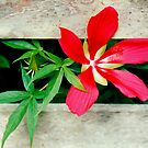 Wild Hibiscus on the Fence by Rosalie Scanlon