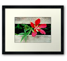 Wild Hibiscus on the Fence Framed Print