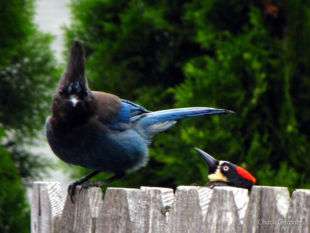 Acorn Woodpeckers Sneak Attack  by Chuck Gardner