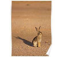 Cottontail Rabbit Poster
