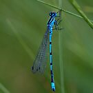 Blue Damselfly by Sarah-fiona Helme