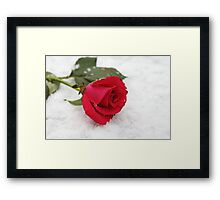 A rose on the snow Framed Print