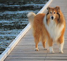 Rough Collie   by Roslyn Slater