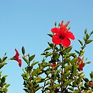Red hibiscus by Agnes McGuinness