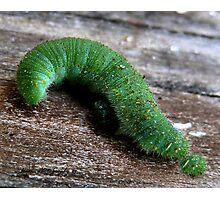 The Inquisitive Caterpillar Photographic Print