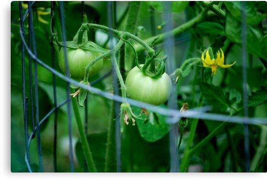 Tomato by Hiroshi  Maeshiro