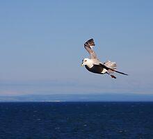 Seagull Drift by Richard Hanley www.scotland-postcards.com