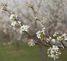 Manchurian Pear Blossom by Pauline Tims