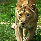 Kalinga the Asiatic Lioness by Wayne Gerard Trotman