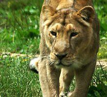 Kalinga the Asiatic Lioness by Wayne Gerard Trotman