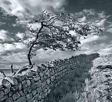Tree, Hadrians Wall, Northumberland. by maxblack