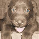 Chocolate Lab Puppy by tawaslake