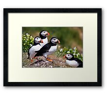 Puffin Group Framed Print