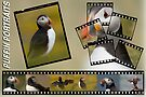 Puffin Montage by David Lewins