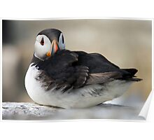 Resting Puffin Poster